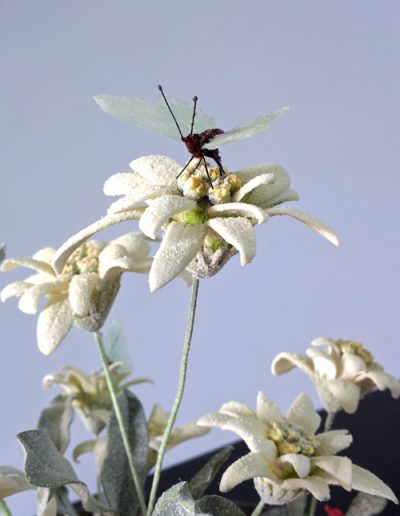 Edelweiss Butterfly