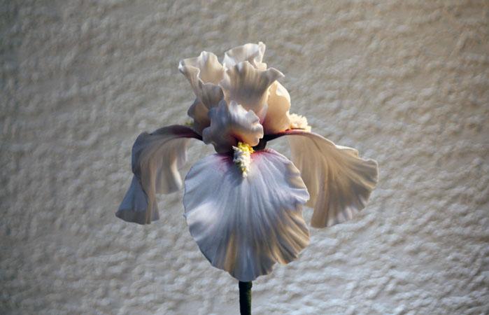White bearded Iris 699px